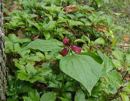 Red trillium still in bloom in New York.