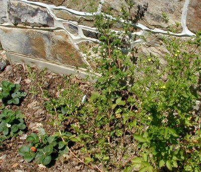 Rough cinquefoil grows much taller than any strawberry.