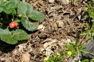 Robust leaves of strawberry on the left and thin leaves of rough cinquefoil on the right.