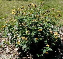 The same Rudbeckia plant a month later after attack by aphids.