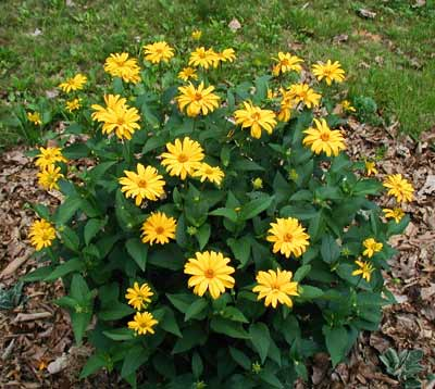 Rudbeckia doing well in full sun.