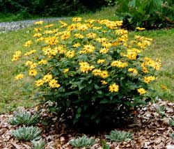 A beautiful Rudbeckia plant sporting its bright yellow flowers in the middle of July.