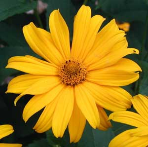 The centers of this Rudbeckia sp. are yellow and not chocolate-brown.