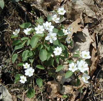 Rue anemone, or Windflower, is a showy Spring woodland flower.