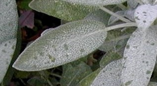 Textured sage leaf.