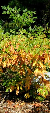 Sassafras leaves turning colors from the bottom up.