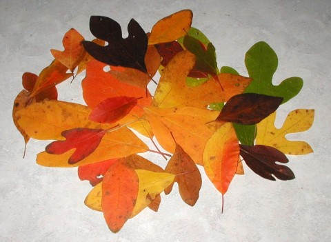 Colorful sassafras leaves.