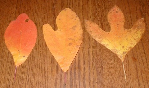 Sassafras leaf shapes.
