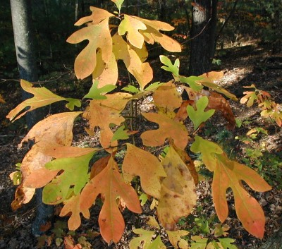 Yellow-orange sassafras.