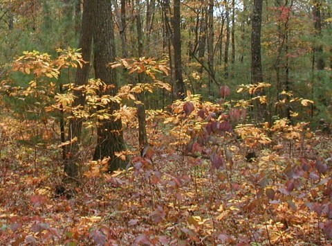 Sassafras and viburnum fall foliage.