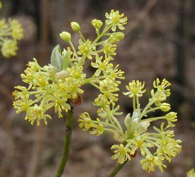 Sassafras male flowers are showy at the edge of the woods.