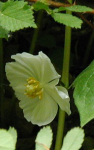 Single mayapple blossom.