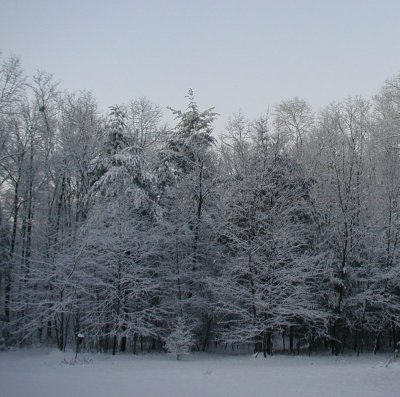 Snowy trees in the early morning light.