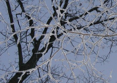 Snow sticking to the tree limbs as seen from below.
