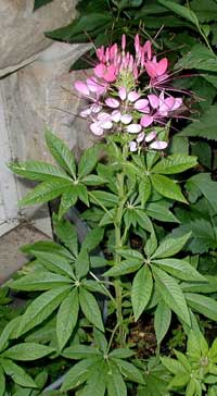 Spider-flowers blooming pink above the palmate leaves.