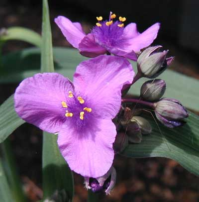 Spiderwort flowers have three bright purple triangular petals and six bright yellow stamens.