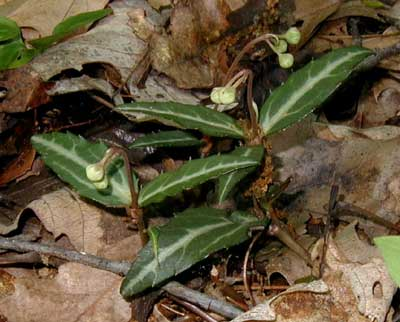 The white midribs of the whorled leaves of Striped Wintergreen make it a distinctive plant.