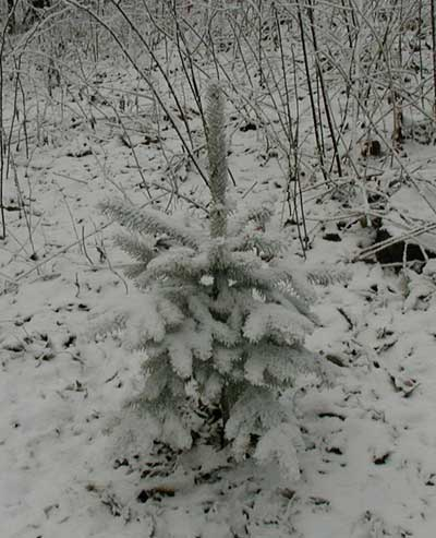 Little spruce tree covered with snow in April!