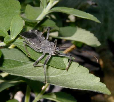 Wheel bug waits on stevia leaf for an unsuspecting passerby.