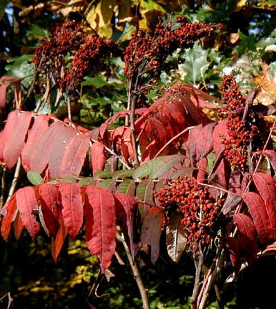 Red berries hide among the bright red leaves of the sumac.