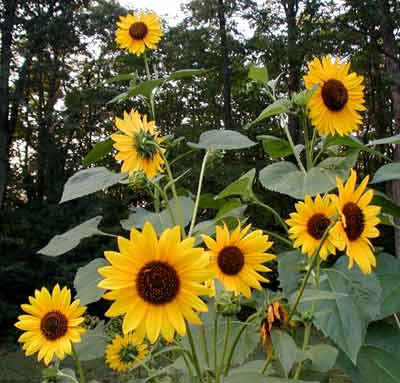 Sunflowers with several large blossoms.