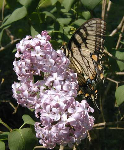 A female swallowtail butterfly sipping nectar from a lilac.