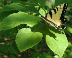 Swallowtail butterfly resting on a sassafras leaf.