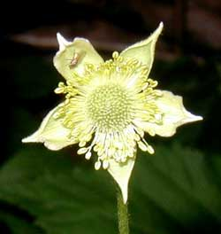 The light green to cream colored flower of thimbleweed has five sepals and numerous stamens.
