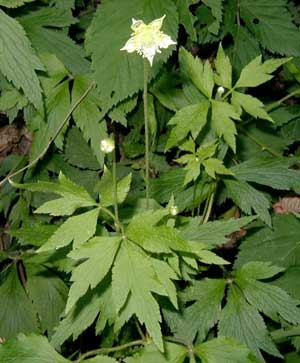 Thimbleweed flowerbuds, blossoms and fruit rise above the three- or five-parted leaves.
