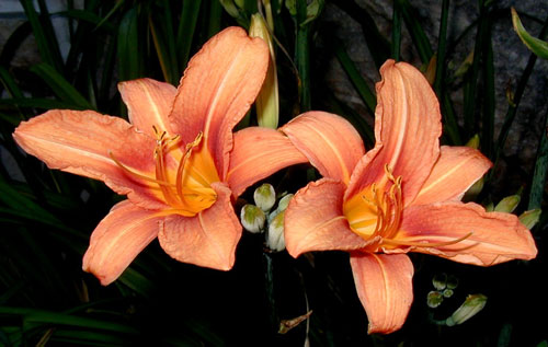 Tiger lilies blooming in the flower beds.