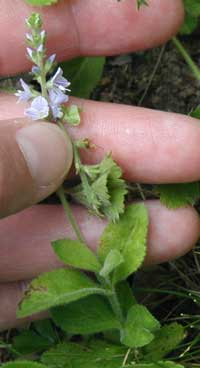 Flower spike of thyme-leaved speedwell.