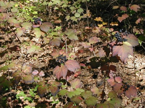 Maple-leaved viburnum fall foliage.