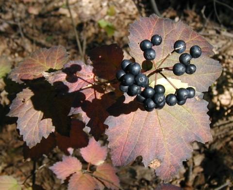 Maple-leaved viburnum berries.