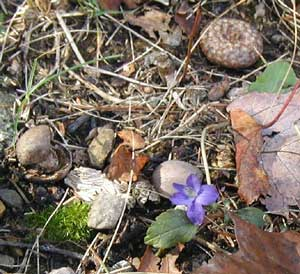 A violet dares to be different and is found blooming in autumn.