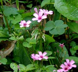 Violet wood-sorrel, Oxalis violacea, flowers seem to flare open their violet-pink petals.
