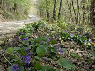 Violets adorn our country lane at many places.