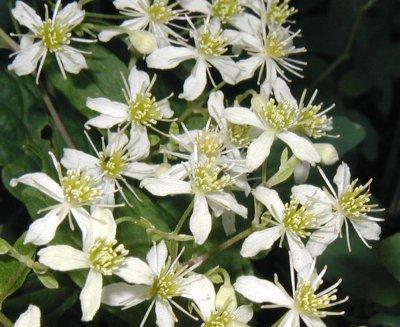 Flower of Virgin's Bower.
