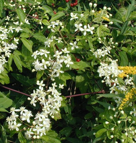 Virgin's Bower flowering along a PA road.