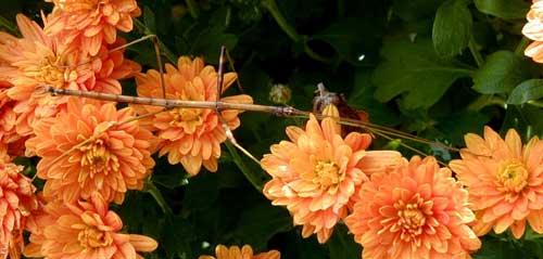 Walking stick pauses on a chrysanthemum.