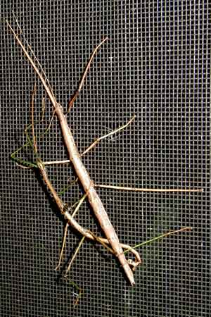 Walking sticks mating on a window screen.
