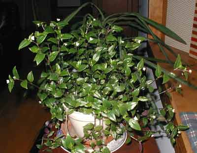 Easy to care for and resilient, the Wandering Jew is a popular houseplant.