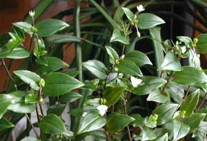 Nearly every stem will produce a cluster of small, white flowers.