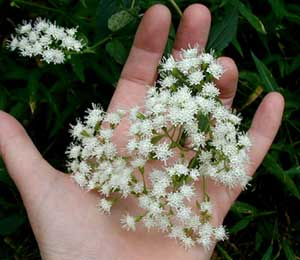 Branched clusters of white snakeroot flowers.