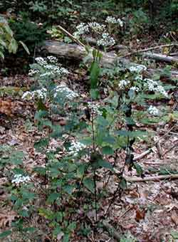 White snakeroot growing in the woods of South Central Pennsylvania.