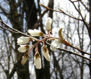 Wild cherry blossoms getting ready to open.