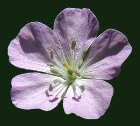 Lilac-toned flower of Cranesbill.
