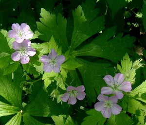 Wild geranium in the mountainous forest of central Pennsylvania.