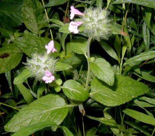 Wild mint, Mentha arvensis.