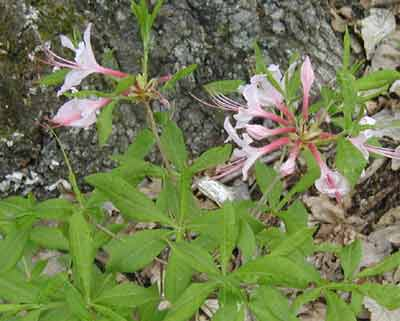 Wild Pink Azalea blooming under an old oak tree.