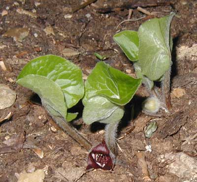 Wild ginger is a native perennial with a unique flower that sits on the ground.